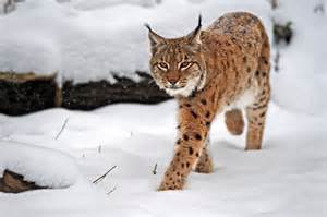 Lynx Wild Cat Pictures in Winter