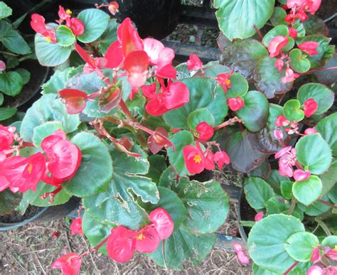 begonia leaf begonia beauty of leaves smallhomegardens2012
