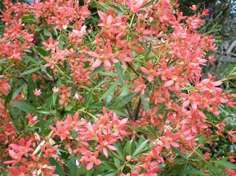 plant lovin nsw christmas bush drawnoutdoors