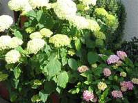 ueberwintern hortensie schneiden hortensien zurueckschneiden