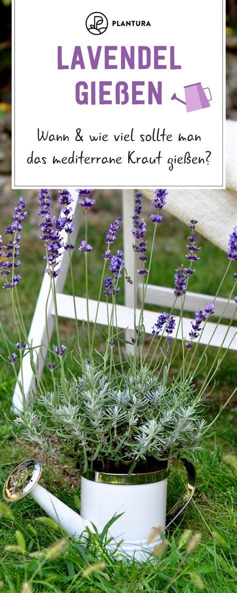Lavendel Viel Wasser by Lavendel Gie 223 En Wann Wie Viel Ist N 246 Tig Kr 228 Utergarten