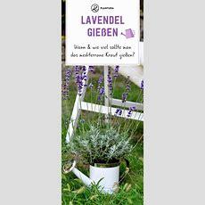 Lavendel Gießen Wann & Wie Viel Ist Nötig Kräutergarten