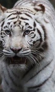 What's up, dude? Never seen a white tiger before? | One of ...
