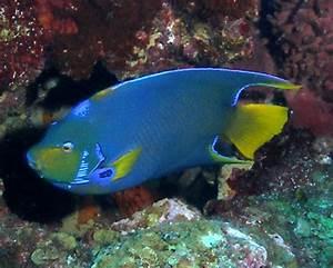 Queen Angelfish Facts For Kids