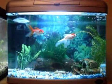 pics  video    oranda goldfish   white cloud