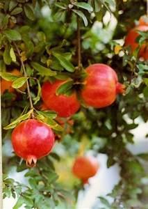 Pomegranate Tree  Punica Granatum  30 Fresh Seeds