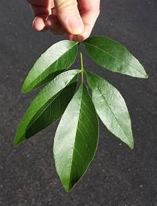 Growth Habit: Woody, deciduous perennial tree, moderate ...