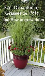 Best Ornamental Grasses for Containers - Dan330