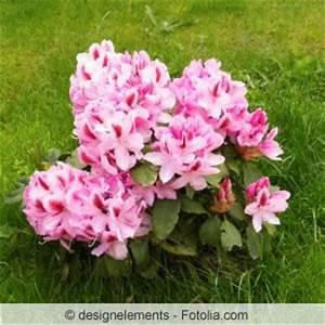Rhododendron Blüht Nicht : vermehren und veredeln von rhododendren ableger stecklinge ~ Frokenaadalensverden.com Haus und Dekorationen