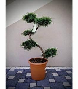 Arbre En Nuage : arbre nuage japonais niwaki junip rus virginia grey owl ~ Melissatoandfro.com Idées de Décoration