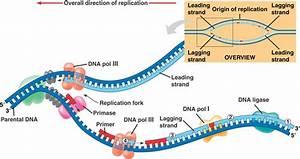 Grade 12 Biology  Dna Replication