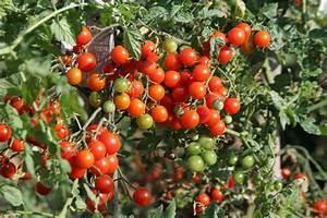 Plant Tomate Cerise : tomate cerise page 2 paris c t jardin ~ Melissatoandfro.com Idées de Décoration