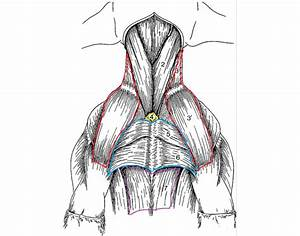Muscles Canine Ventral Neck And Chest