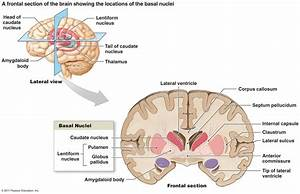 The Corpus Striatum  Or  U0026quot Striped Body U0026quot  Consists Of The Basal Ganglia  Basal Nucleus  And The