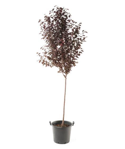 purple leaf plum tree for sale thundercloud purple leaf plum