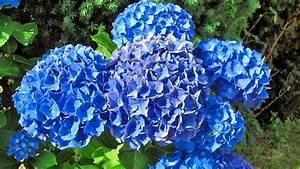 Sind Hortensien Winterhart : hortensien pflegen schneiden und berwintern ratgeber garten zierpflanzen ~ Orissabook.com Haus und Dekorationen