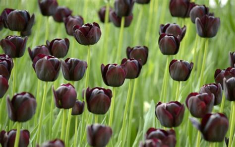schwarze tulpen bereiten freude fuers auge und die seele