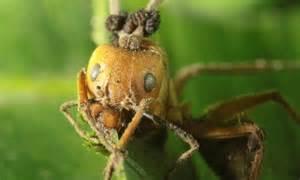fungus ants kill zombie