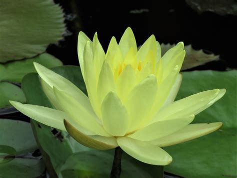 blue lotus flower blue lotus flower meaning