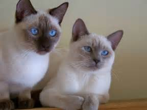 friendliest cat breeds top 10 most friendly cat breeds for family with kid