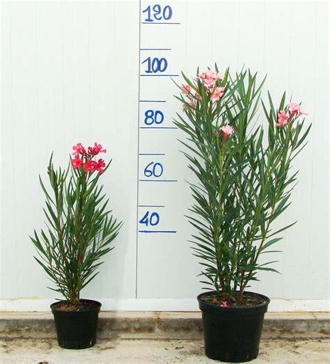 taille des lauriers roses en pot les diff 233 rentes tailles de lauriers roses 224 la vente les lauriers du pont du gard