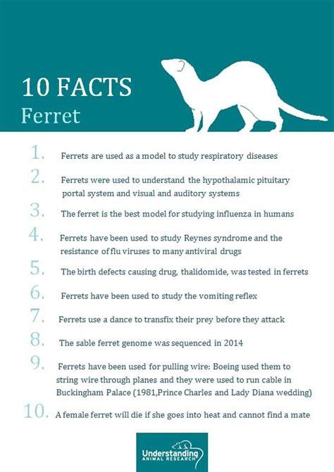 ferret understanding animal research understanding