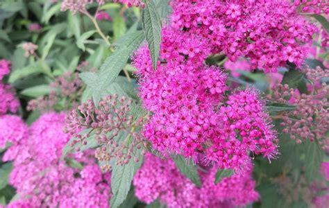 amaryllis treibt nur blätter pinkfarbene blumen stockfoto bild bl 227 164 tter gr 227 188 n 55820216