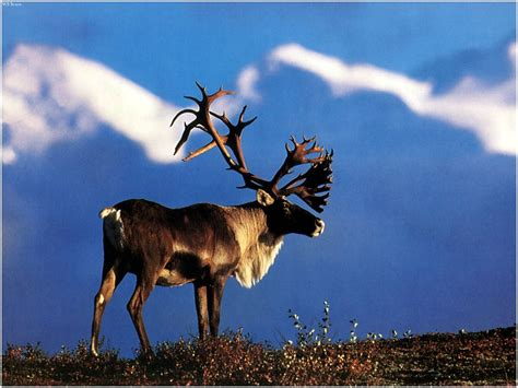 When Do Moose Shed Their Antlers by Caribou 1 Jpg