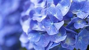 Blau Blühender Bodendecker : blaue hortensien so bleibt ihre farbe erhalten ~ Frokenaadalensverden.com Haus und Dekorationen