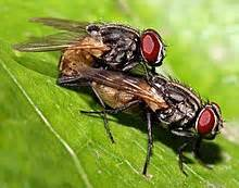 how does a house fly live housefly