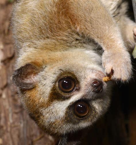 Pygmy slow loris munching mealworm - David Haring - Lemur ...