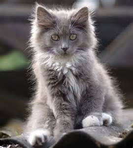 Gray and White Long Haired Cat