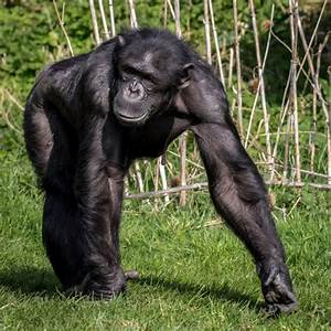Chimpanzee 'super strength' and what it might mean in ...