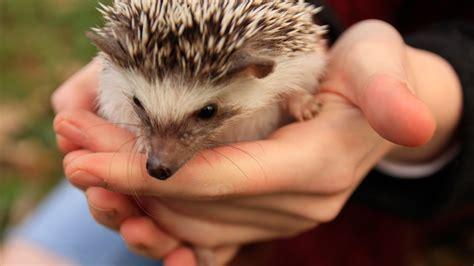 pet hedgehog owning a pet hedgehog fact vs myth youtube
