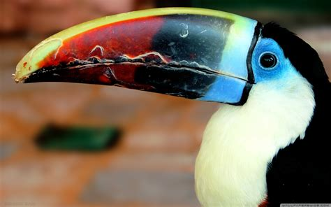 Toucan Full Hd Wallpaper And Background Image 2560x1600