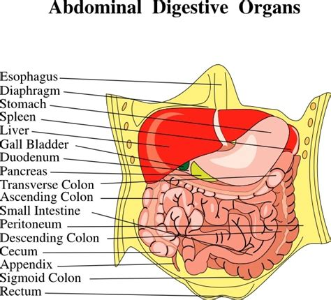 Organ Diagram by Digestion Free Vector 15 Free Vector For