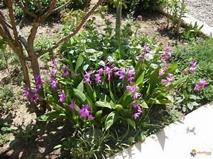 Photo orchidee de jardin bletilla striata for Orchidee de jardin