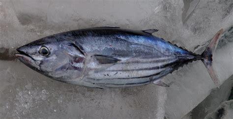 manfaat  khasiat ikan cakalang  kesehatan