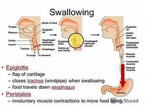 U041f U0440 U0435 U0437 U0435 U043d U0442 U0430 U0446 U0438 U044f  U043d U0430  U0442 U0435 U043c U0443   U0026quot Human Digestive System Ingestion Mouth  U2013mechanical Digestion Teeth