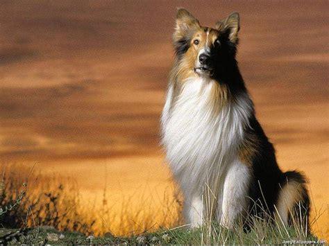 Suņu šķirnes(garspalvainie kolliji) - Spoki