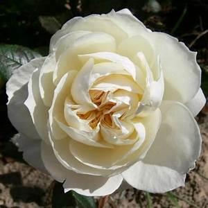 Rosier Grimpant Blanc : rosier grimpant mon jardin et ma maison rosier direct ~ Premium-room.com Idées de Décoration