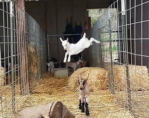 Everything you wanted to know about dairy goat kids at ...
