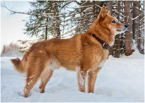 Finnish Spitz Puppies Breeders Temperament Facts Pictures Price Animals Breeds