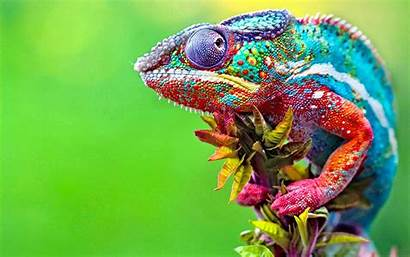 Chameleon Animals Colorful Chameleons Macro Striped Desktop