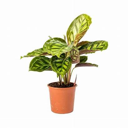 Calathea Flamestar Medallion Roseopicta Hortology Plants Unavailable