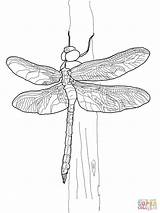 Dragonfly Coloring Pages Darner Drawing Printable Adult Supercoloring Dessin Colouring Crafts Sheets Drawings Nymph Scientific Dragonflies Stencil Outline Select Category sketch template