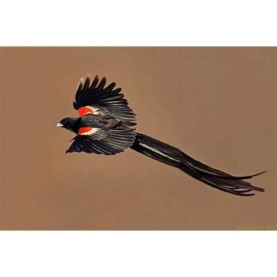 Long-tailed Widowbird (Euplectes progne)Birds of a