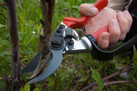 wann dürfen hecken geschnitten werden himbeeren schneiden 187 so machen sie es wie die profis