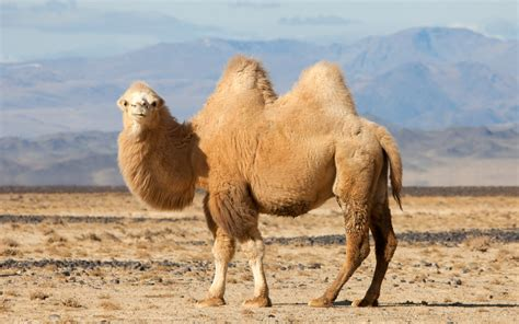 Camel Facts, History, Useful Information And Amazing Pictures