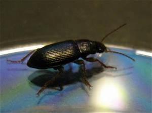 Schwarze Käfer Im Garten : ein schwarzer k fer m nchen ~ Lizthompson.info Haus und Dekorationen